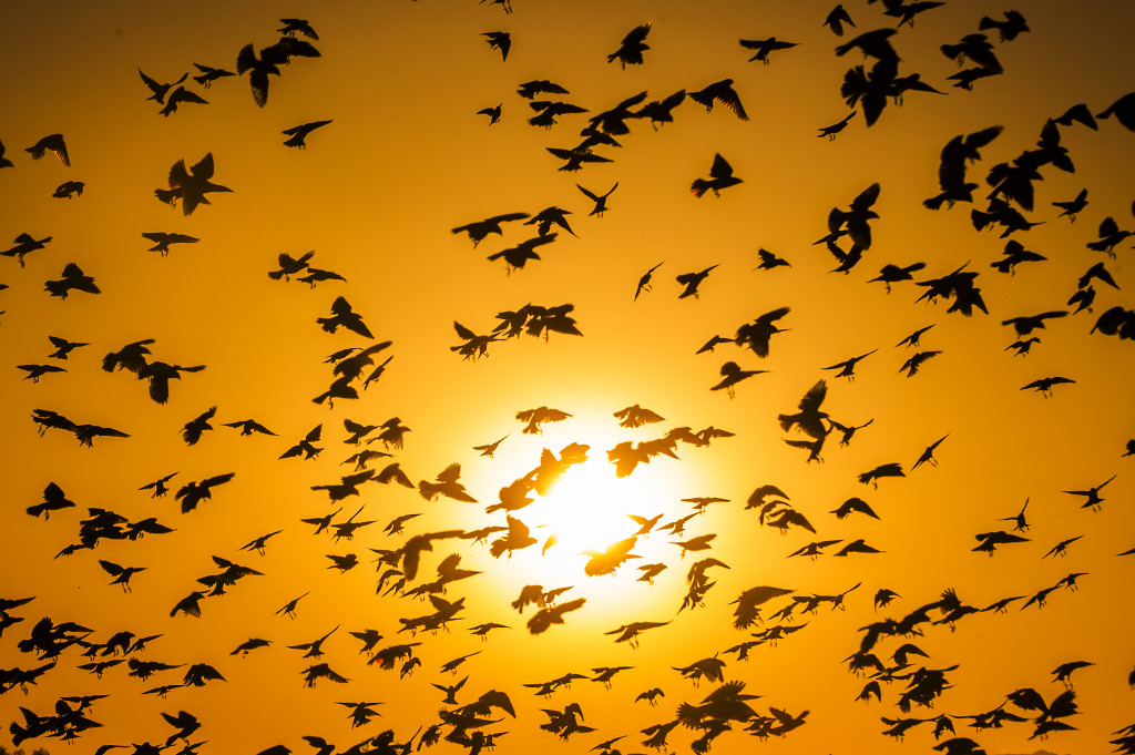 The sun sets behind birds flying over a field in Glendale September 30, 2015.
