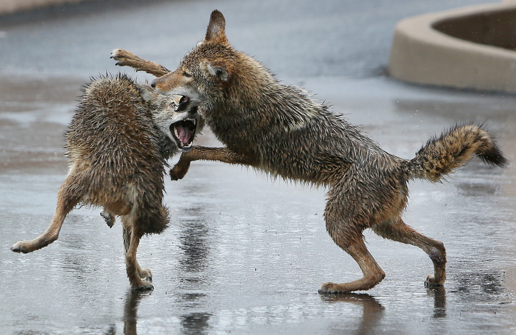 A pair of rain-soaked coyotes spar in the parking lot of the Arizona Daily Star on Saturday, Jan. 31, 2015. Mike Christy / Arizona Daily Star